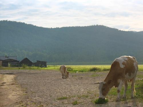 Еще раз коровки