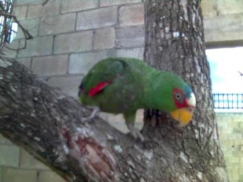 два папугая-этот здесь очен агресивный был и вел себя как петух.