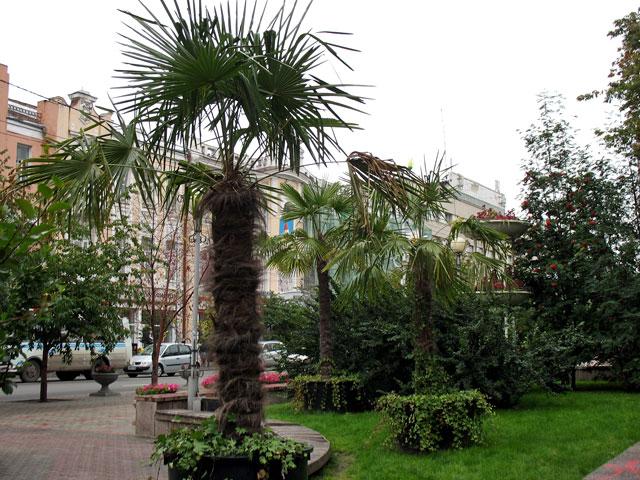 Пальмы в сибирском городе