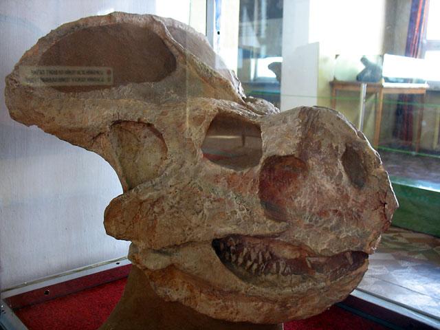 Череп протоцератопса. Улан-Батор, Краеведческий музей