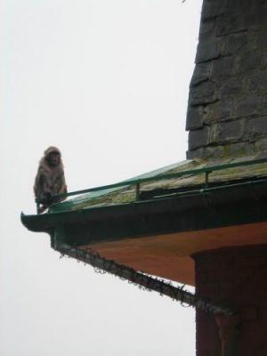 Одинокий голубь:). Шимла