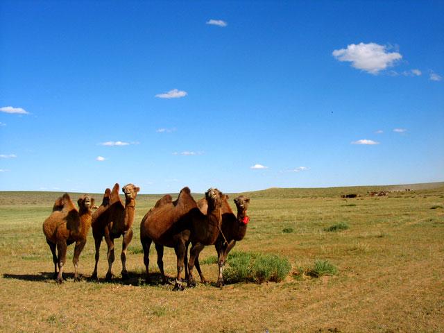 Встречаем первых верблюдов