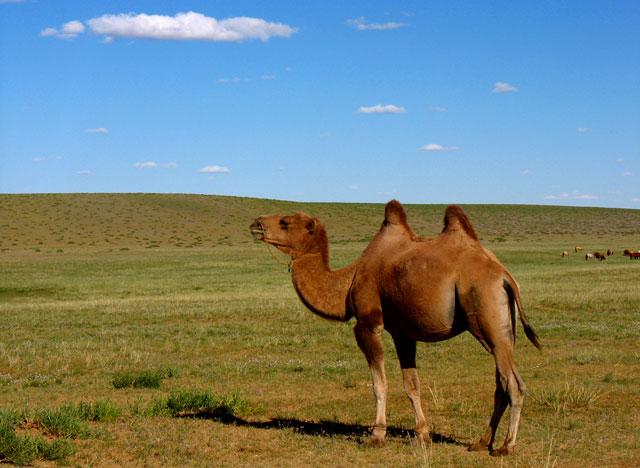 Монгольский верблюд