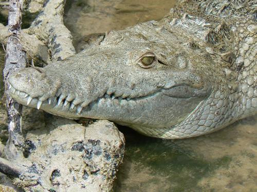 """""""Портрет"""" крокодилский."""
