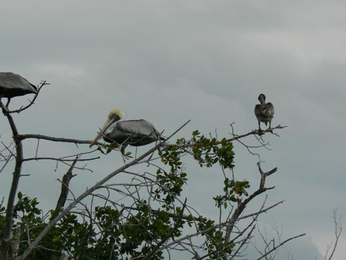Отдыхающие пеликаны.