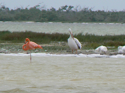 Они живут вместе с пеликаны-не воюют.