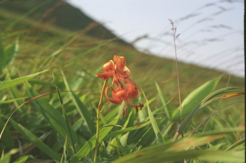 лилия-саранка...у нее сьедобные и очень вкусные корни