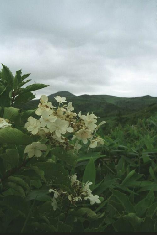 Цветущая лиана