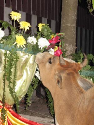 рады такому событию все! Даже коровы! Цветы то вкусные! )))