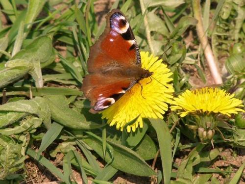 Первая весенняя бабочка