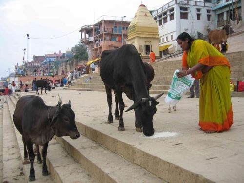 коровы - как же без них