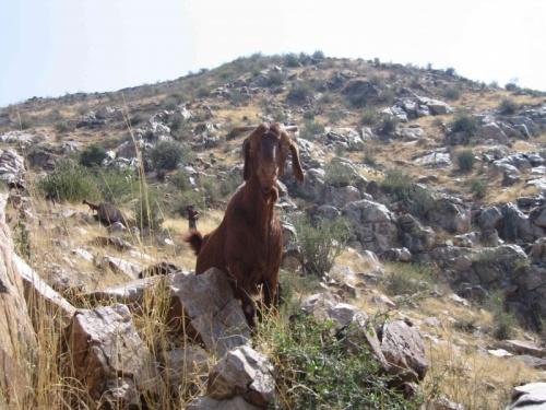 неодинокий козел