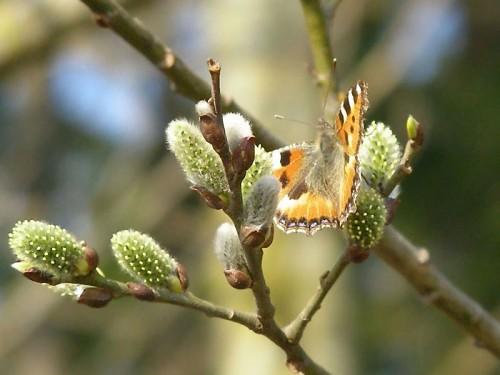 Мартовская бабочка