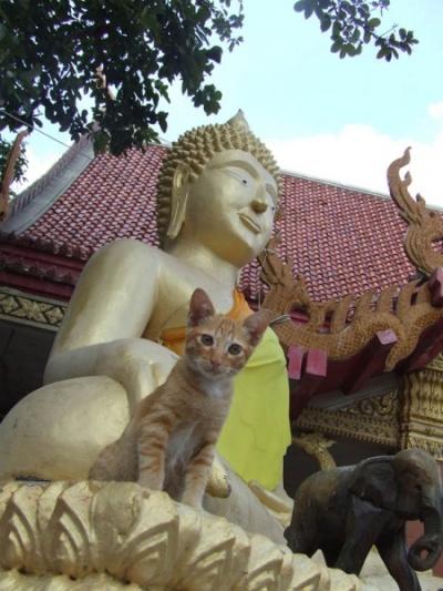 """""""Наверное, в прошлой жизни я носил жёлтое одеяние. Но согрешил"""", - исповедь котёнка на Будда Хилле, Паттайя"""