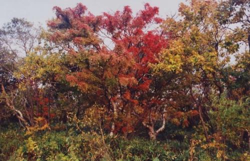жар-птицы Курильской осени изрядно потрепанные тайфуном,но все равно сказочные