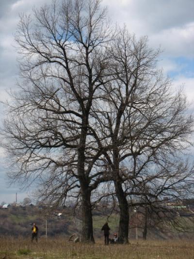 Два дерева: мужское и женское