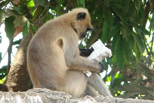 Читающий обезьян