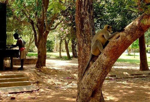 Отдыхающий обезьян