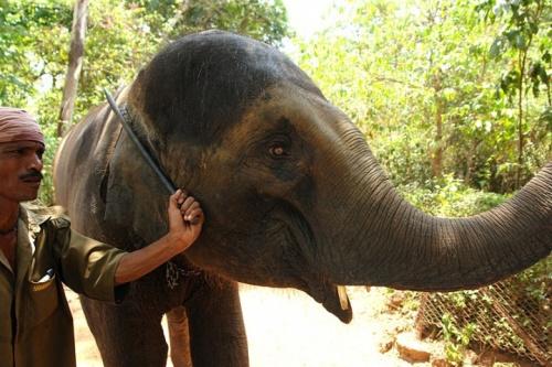 Слониха и погонщик