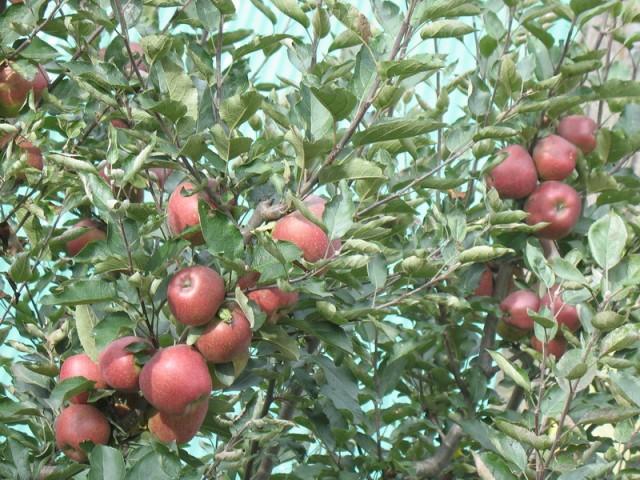 Яблоки за окном
