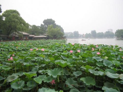 Поле розовіх лотосов рядом с Запретным городом