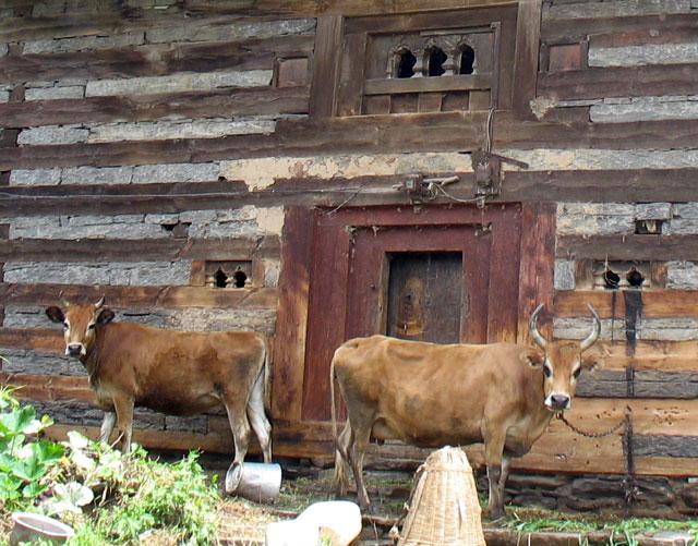 Коровы в Дашале. У правой – знатные рога!