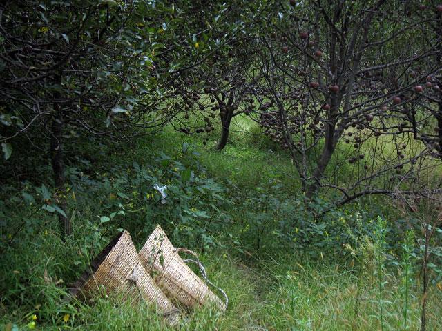 Последние яблочки