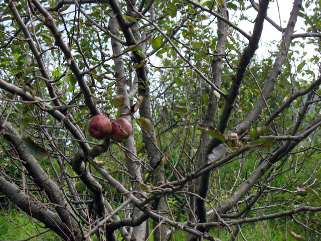 Конец яблочного сезона в Гималаях