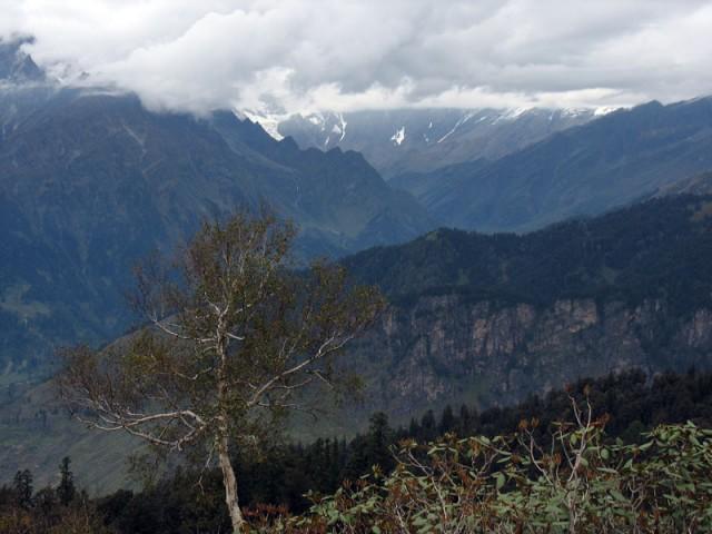 Береза на фоне Гималаев
