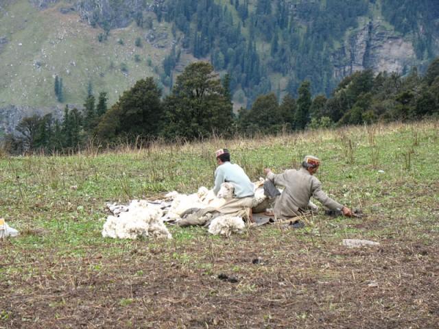 Стригут овец