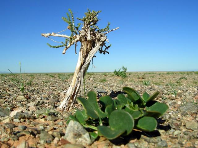 Растительность в Баянзаге, пустыня Гоби, Монголия