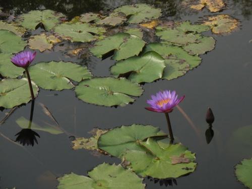 Цветы Непала