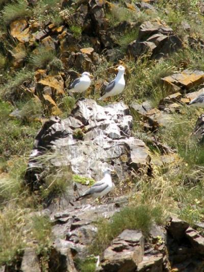 Севанские чайки