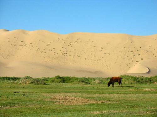 Корова в дюнах, пустыня Гоби