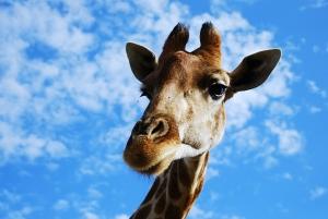 Hunting Giraffe Safari. Price $ 3800. Help us stop this madness!