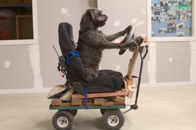 18-месячный бездомный ризеншнауцер по кличке Монти работает на тренажёре, который имитирует вождение. (DraftFCB/AFP/Getty Images)