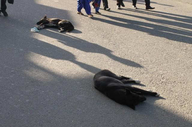 Шимла спящие собаки везде