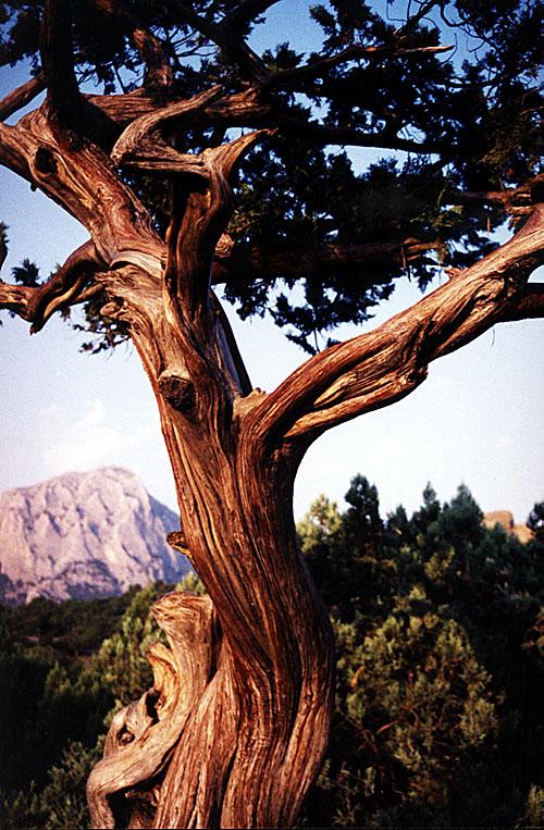 Дерево в новосветской можжевеловой роще. Вот это фактура!