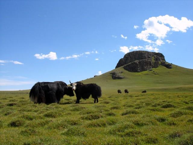 Яки. Монголия