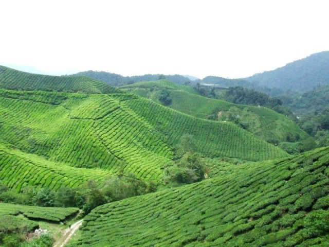 Чайные плантации Бох, Камерон Хайлендс