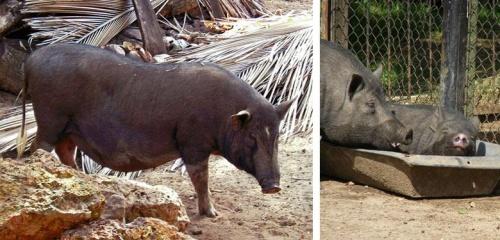 A свиней и у них, и у нас хватает!