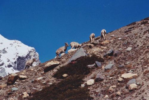 Козлы горные свистящие и не очень свистящие козы