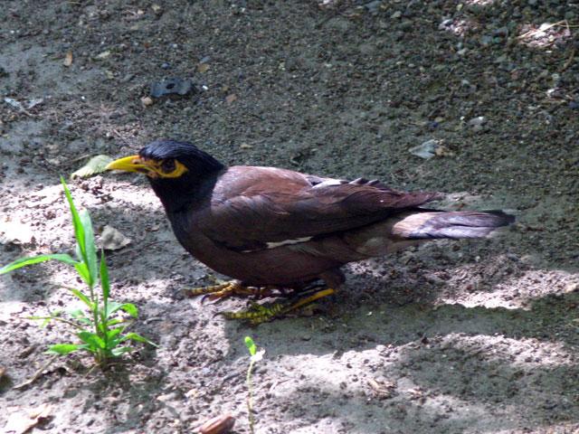 Птичка майна