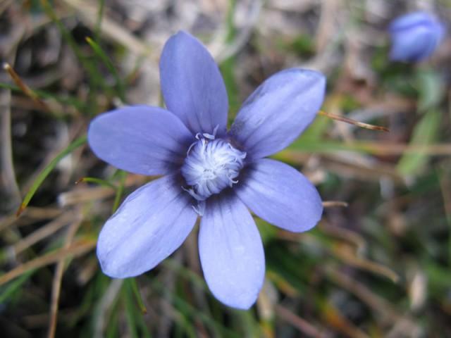 Горный цветок