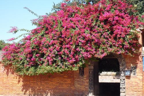 Цветы Бугенвилии