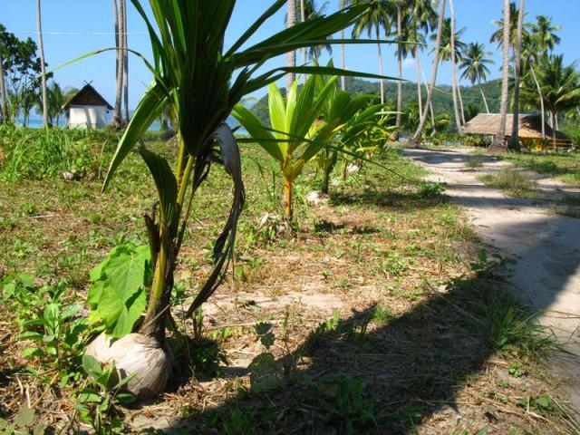 А вот будущая кокосовая пальма...