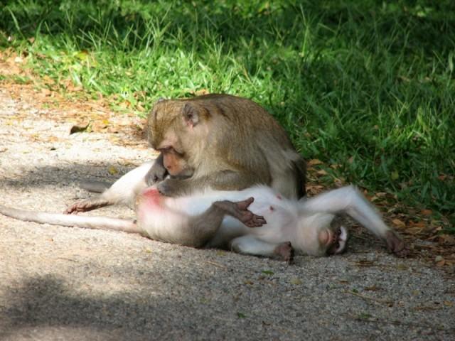 Релаксирующие обезьяны