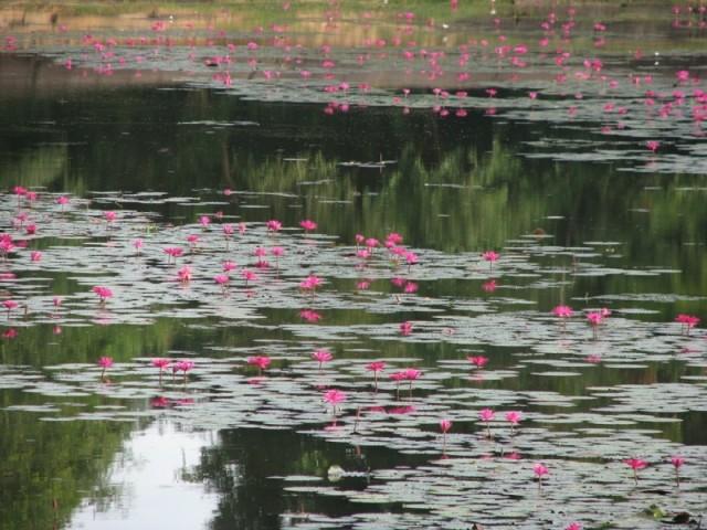 Лилии в рукотворных водоемах Ангор Вата