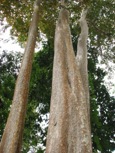 Флора Ангкора