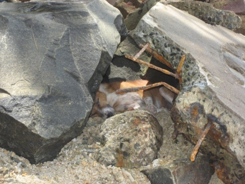ланкийские собаки любят поиграть в воде